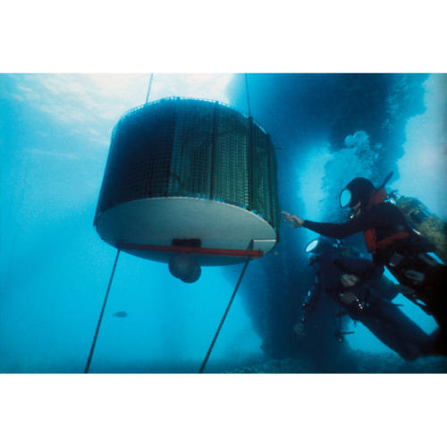 California Marine Associates' Abalone Cage Suspended Below Platform Holly 40 feet
